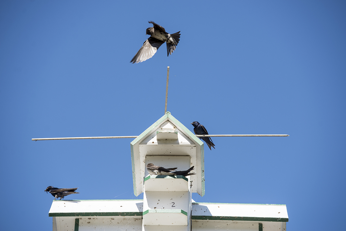 Purple Martins fly around the bird house located next to Palestine Park on July 15, 2016. Purple Martins are dependent on humans to provide them with homes. Photo by Sarah Holm
