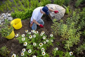 Mark Teets, who is a part of the Chautauqua Gardening Department, pulls weeds on University Hill on July 20, 2016. Photo by Sarah Holm