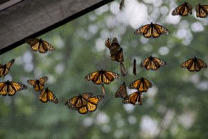 "Monarch butterflies cling to a tent during the ""Open Wide"" program in Lincoln Park on July 8, 2016. The program demonstrated each step of a butterfly's life cycle and allowed people to feed the monarch butterflies. The event was sponsored by Lynda Acker and her husband Jeff in honor of their daughters Caroline and Christina."