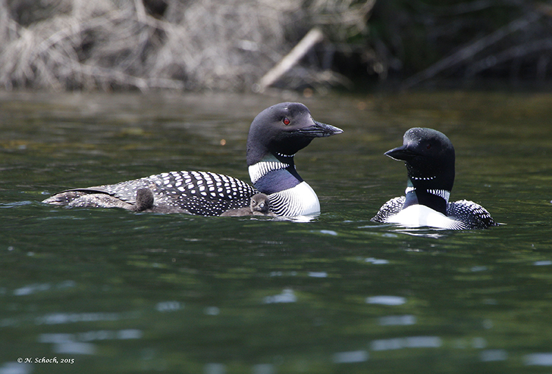 Loons, photo provided by Dr. Schoch